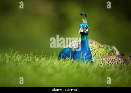Splendid peacock (Pavo cristatus) (shallow DOF; color toned image) - Stock Photo