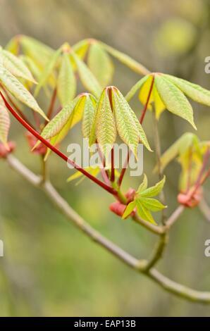 Dwarf buckeye (Aesculus parviflora) - Stock Photo