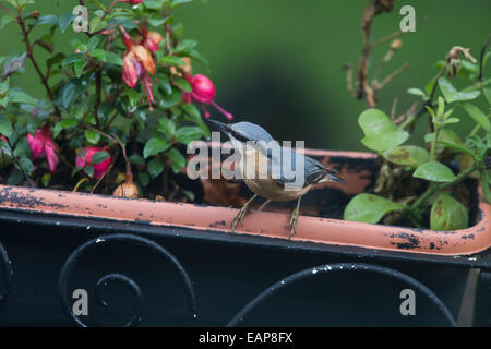 Nuthatch Sitta europaea hiding sunflower seeds in a tub amongst cyclamen - Stock Photo