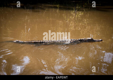 Alligator in a swamp, The Bayou. Louisiana - Stock Photo