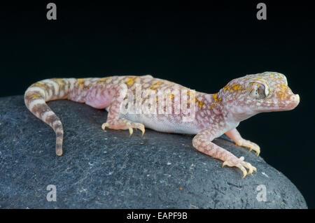 Sand gecko / Stenodactylus sthenodactylus - Stock Photo