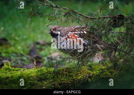 Hazel grouse / hazel hen (Tetrastes bonasia / Bonasa bonasia) male in forest