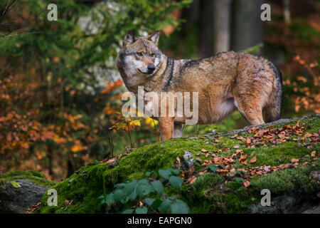 European grey wolf (Canis lupus) looking for prey from rock in autumn forest - Stock Photo