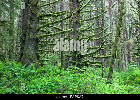 Sitka Spruce forest,  lichen (moss) covered branches. - Stock Photo