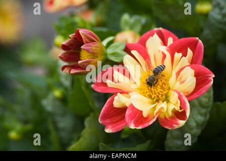 Honey bee on Dahlia 'Starsister Red-yellow'. - Stock Photo