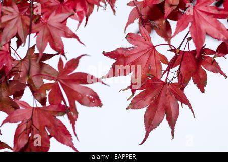 Red autumn foliage of the Japanese maple, Acer palmatum 'Bloodgood' - Stock Photo