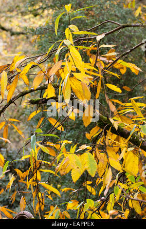 Yellow autumn foliage of the sweet chestnut, Castanea sativa - Stock Photo