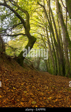 Fallen autumn leaves carpet a woodland path under beech trees in a Plymouth wood - Stock Photo