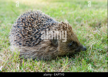 Hedgehog (Erinaceus europaeus) foraging for food on grass. - Stock Photo