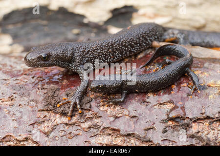 Great Crested Newts (Triturus cristatus).  Adult and immature from under logs. Terrestrial living period of annual - Stock Photo