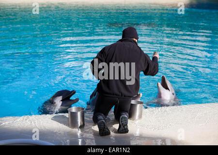 Dolphin feeding at Siegfried and Roy's Secret Garden and Dolphin Habitat, Mirage Hotel, Las Vegas, Nevada, USA - Stock Photo