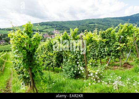 Vineyards outside the village of Andlau, Bas-Rhin, Alsace, France - Stock Photo