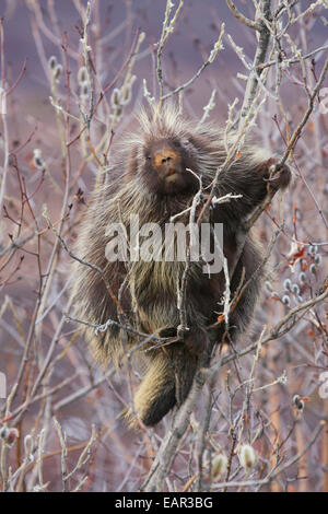 Porcupine Hangs On A Willow Tree Branch, Interior Alaska, Spring - Stock Photo