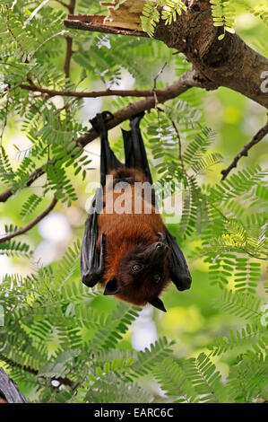 Indian Flying Fox or Greater Indian Fruit Bat (Pteropus giganteus), male at roost, Uttar Pradesh, India - Stock Photo