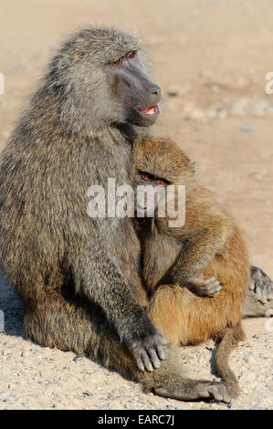 Olive Baboon (Papio anubis), female with young, deposits in Africa, captive, The Netherlands - Stock Photo