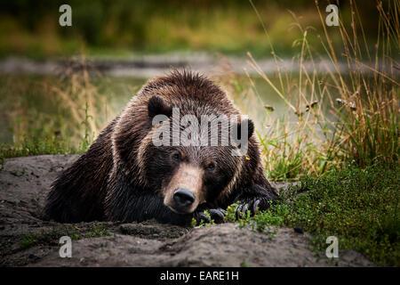 Grizzly Bear (Ursus arctos horribilis) lying on the ground, Valdez, Alaska, United States