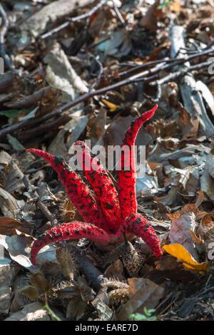 Octopus Stinkhorn (Clathrus archeri), fruiting body, Mönchbruch forest, Hesse, Germany - Stock Photo