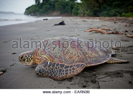 A tagged green sea turtle makes its way to the sea. - Stock Photo