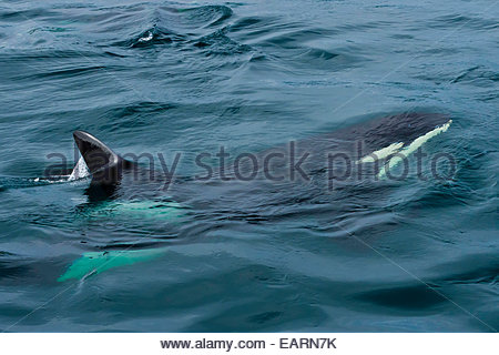 View from above of a killer whale swimming in the ocean. - Stock Photo