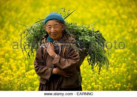 A woman in a mustard oil field carries fodder to feed to animals. - Stock Photo