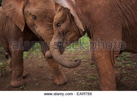 Elephants socialize at the Ithumba stockade in Tsavo National Park. - Stock Photo