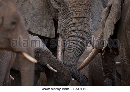 Orphan elephants in the Ithumba stockade. - Stock Photo