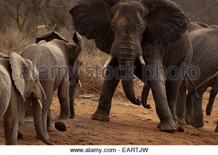 Orphan elephants and calves at play in the Ithumba stockade. - Stock Photo