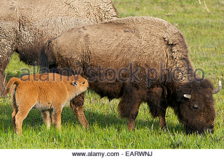 A baby bison drinks milk from its mother. - Stock Photo