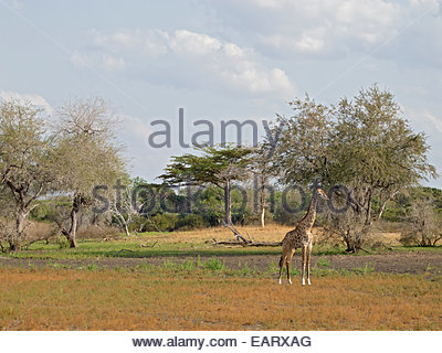 A single giraffe stands in a field. - Stock Photo