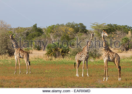 Three Masai giraffe stand near each looking at the camera. - Stock Photo