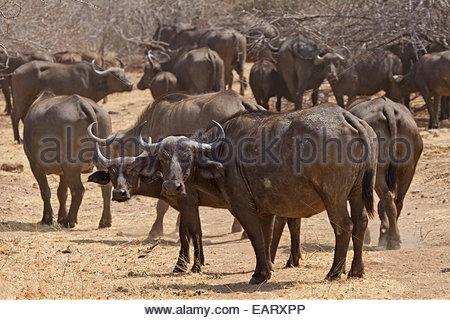 Cape buffalo, Syncerus caffer caffer, look at the camera. - Stock Photo
