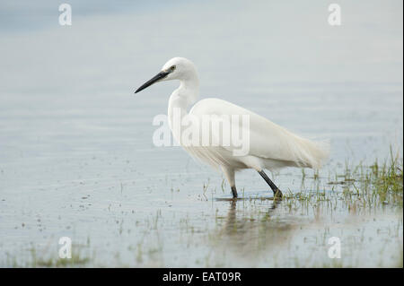 Great White Egret Ardea alba Elmley Marshes Kent UK - Stock Photo