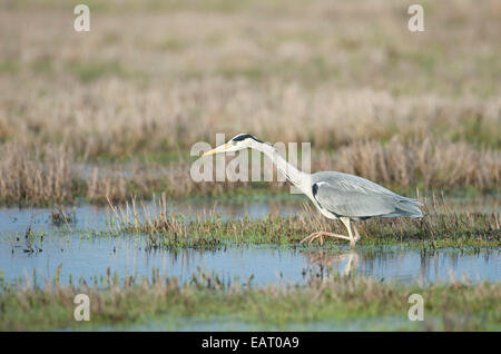 Grey Heron Ardea cinerea fishing Kent UK - Stock Photo