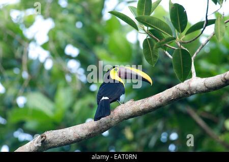 Chestnut Mandibled Toucan Ramphastos swainsonii Panama - Stock Photo