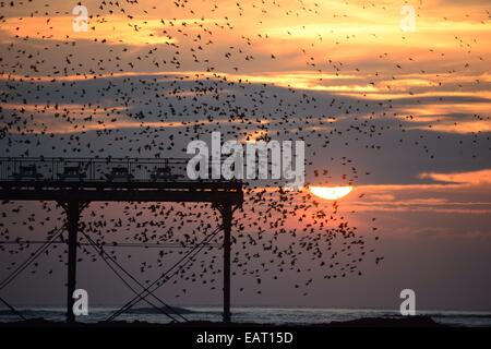 Aberystwyth, Wales, UK. 20th November, 2014. Starlings roosting on Aberystwyth  pier at sundown. The dramatic murmuration - Stock Photo