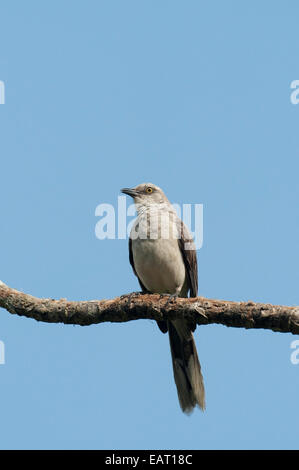 Northern Mockingbird Mimus polyglottos Panama - Stock Photo