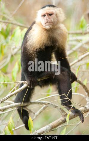 White Headed Capuchin Cebus capucinus Panama - Stock Photo