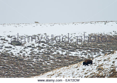 A gray wolf walks on a ridge above a buffalo in the snow. - Stock Photo