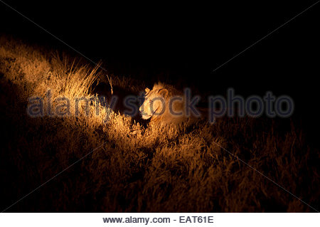 A lion lit by a lantern in Moremi Game Reserve in Botswana, Africa. - Stock Photo