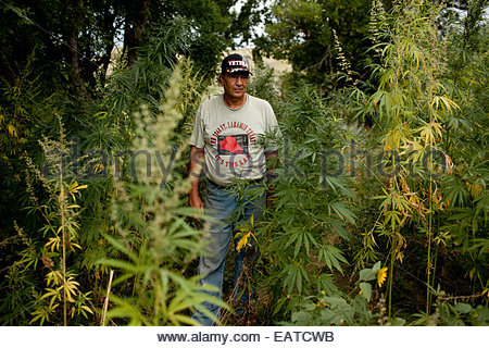 A man stands amid the wild remains of his low-tetrahydrocannabinol hemp crop. - Stock Photo