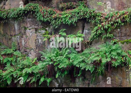 Common bracken / brake / eagle fern (Pteridium aquilinum) growing in rock face - Stock Photo