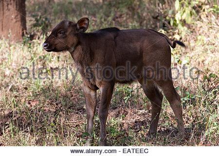 Portrait of a baby gaur, Bos gaurus, also called an Indian bison. - Stock Photo