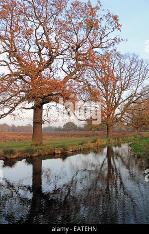 Bushy Park, London, England, UK. 20th November 2014. The low autumn sun enhances the golden colours of the magnificent - Stock Photo