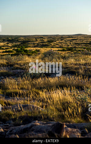 A desert spinifex grassland on an exposed ancient limestone reef. - Stock Photo