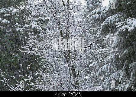 Forest of Black Oak, Dogwood, Madrone, Cedar and Fir is showered by a late spring snowfall. Northern California. - Stock Photo
