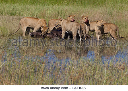 Female African lions feeding on a freshly killed Cape buffalo. - Stock Photo