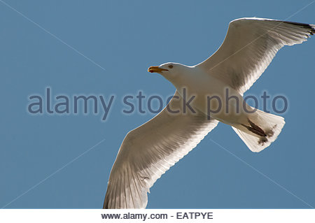 A herring gull, Larus argentatus, flying in a clear blue sky. - Stock Photo