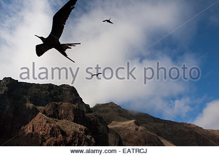Magnificent frigatebirds fly high in Galapagos National Park. - Stock Photo