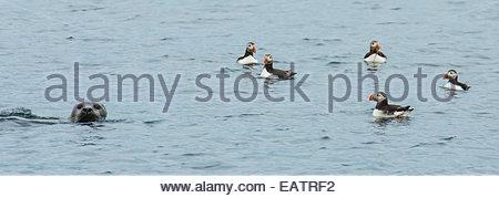 Atlantic puffins swim near a seal in the Atlantic. - Stock Photo