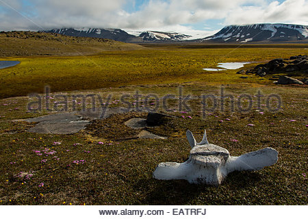 A bowhead whale vertebrae on the empty tundra. - Stock Photo